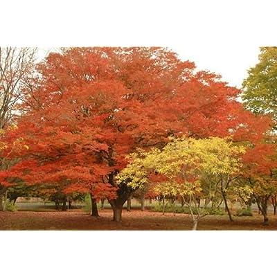 Japanese Zelkova 50 seeds. trees, seeds : Garden & Outdoor