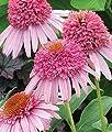 Meteor Pink Coneflower Seeds (Echinacea) 50 Seeds Upc 647923988918