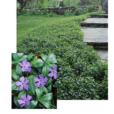 Evergreen 25 VINCA Minor Myrtle Periwinkle Blue, Ground Cover, Fresh Bare Roots : Garden & Outdoor