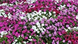 Seeds - 100+ Impatiens Seeds- Walleriana- Dwarf Mixed by TricaStore