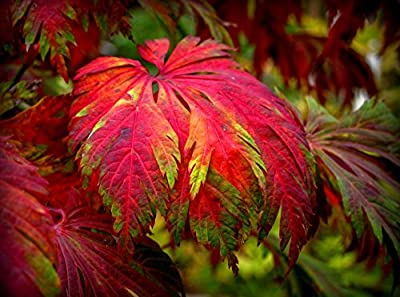 Dancing Peacock Fern Leaf Japanese Maple Japanese Maple Aconitifolium 2 - Year Live Plant