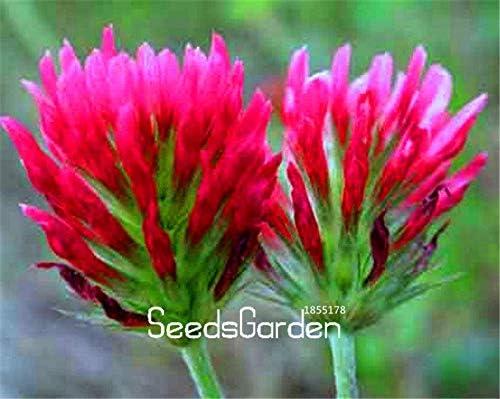 Green Seeds Co. 100 Unidades Mucho trébol carmesí, Plantas de Flores líder en decoración de jardín Planta en Maceta Bonsai: Amazon.es: Jardín