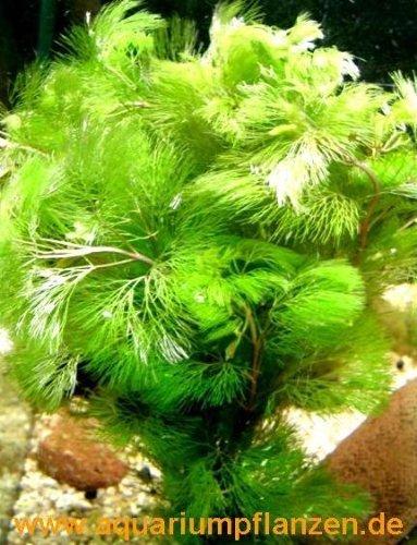 1-bouquet-cabomba-aquatica-couleur-dore