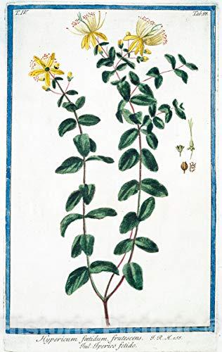 Historic Pictoric 1772 Print | Hypericum foetidum, frutescens = Iperico fetido. [St. John's-wort] | Vintage Wall Art | 8in x 12in
