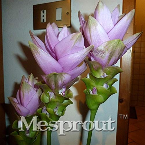 SANHOC 100PCS Curcuma alismatifolia Bonsai Herb Plantes faciles /à cultiver C/ôt/é Jardin Bonsai Pots Bonsai Livraison Gratuite