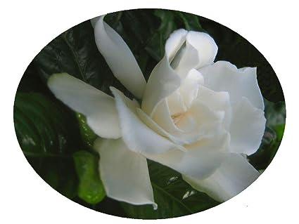 Amazon Vetchii Gardenia Live Plant Intensely Fragrant Double