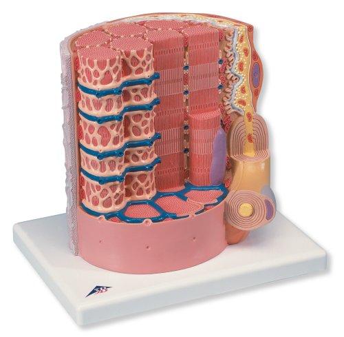 3B Scientific Micro Anatomy Muscle