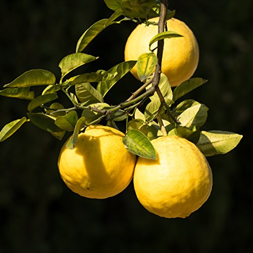 bloomsz-citrus-fruit-tree-ponderosa-lemon-1-year-old
