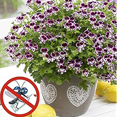 Humany flowerseeds- Fragrance Geranium Mix Geranium Seeds Flower Seeds Herb Seed Hardy Perennial Anti Mosquito & Flies for Balcony, Garden : Garden & Outdoor