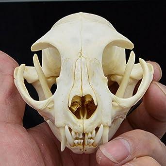 Hot Raccoon Skull Taxidermy Supplies Art Bone Vet Medicine 1