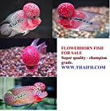 Okiko Quick RED Head Mark Flowerhorn Fish Food 3 in 1 Flowerhorn Cichlid Fish Food with Astaxanthin Plus 100g by fish4you offers