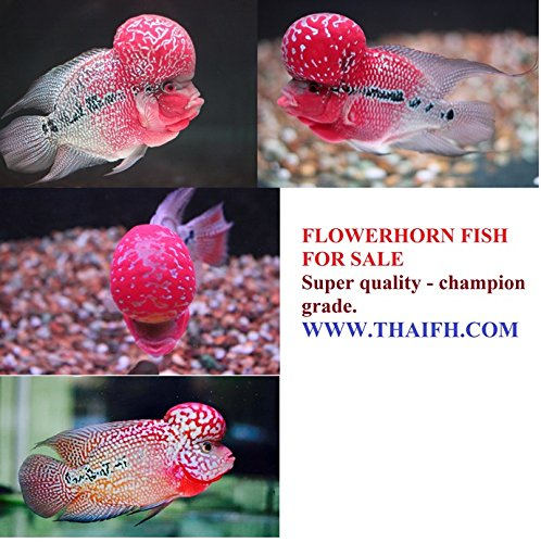 Amazon com : Super Red Flowerhorn Fish for Sale (Louhan, La