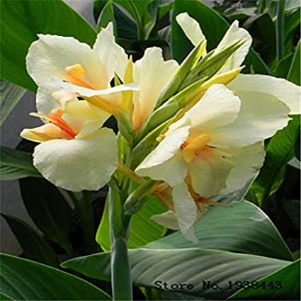 Amazon fash lady flower canna lily bulbs ermine tropical fash lady flower canna lily bulbs ermine tropical house plant white flowers 2 mightylinksfo