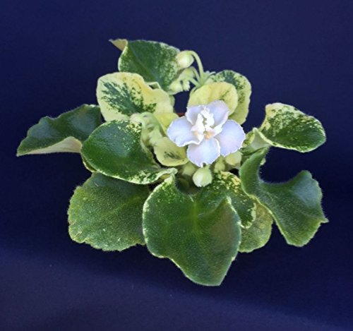 harmonys-blue-moon-semi-mini-african-violet-rooted-plant