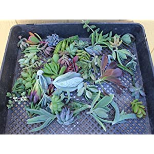 FIFTY ONE (35 varieties) Succulent CUTTINGS great for Vertical Gardens & wreaths & topiaries 85