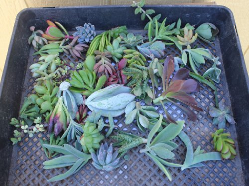 FIFTY ONE (35 varieties) Succulent CUTTINGS great for Ver...