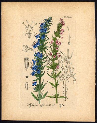 (Rare Antique Botanical Print-HYSSOPUS OFFICINALIS-HYSSOP-Artus-Kirchner-1848)