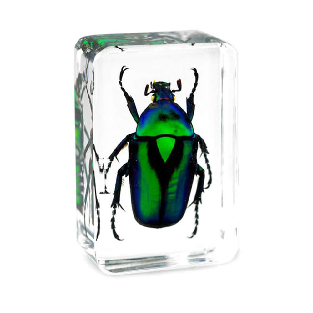 WEIUR Echt Insekt Probe Briefbeschwerer Harz Pr/äparatoren Smaragd-Skarab/äus Kupfer Blume Skarab/äus Gebogener Smaragd-Skarab/äus Didaktik Der Biowissenschaften