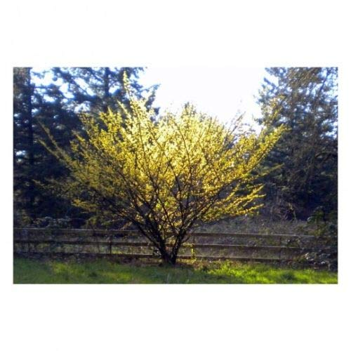 American Witchhazel 1 Plant 1 Trade Gallon Potted Hardy Established Roots