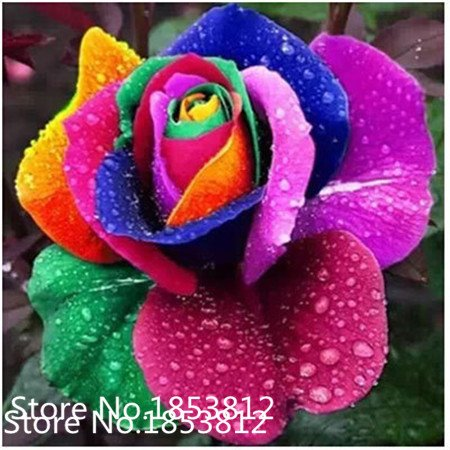 Sale!20 Abracadabra Rose seeds,rare color ,Osiria Rose gorgeous flower . the lover rose seed bonsai planting roses.Free Shipping (Abracadabra Rose)