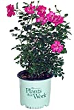Plants That Work – Rosa Highwire Flyer (Climbing Rose) Rose, hot Pink, 3 – Size Container Review