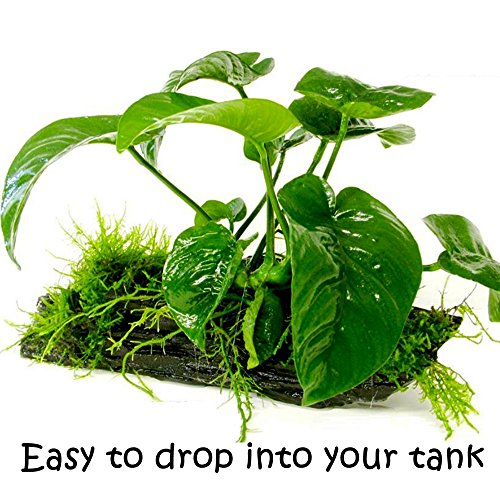 Image of GreenPro (Anubias Barteri Butterfly) Anubias, Java Fern, Moss and More! Freshwater Live Aquarium Plants on Driftwood for Aquatic Tropical Fish Tank Decorations - Easy to Drop