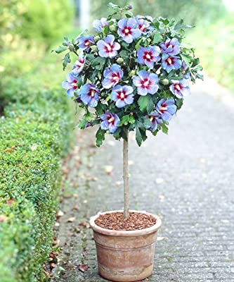 Amazoncom Blue Satin Tropical Hibiscus Tree 4 5 Ft Garden