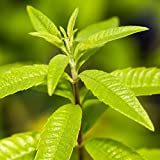 "Lemon Verbena Plant - Well Rooted Plant in 4"" Pot (Aloysia triphylla) - Ships from Easy to Grow TM"