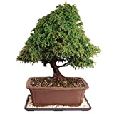 Brussel's Dwarf Cryptomeria Bonsai - Large (Outdoor) with Humidity Tray & Deco Rock