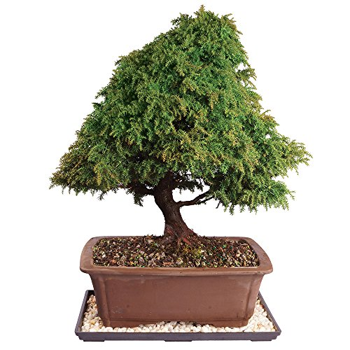 Brussel's Dwarf Cryptomeria Bonsai - Large (Outdoor) with Humidity Tray & Deco Rock by Brussel's Bonsai