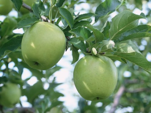 - SD0503 Sour Apple Fruit Seeds, Green Apple Seeds, Green Apple Tree Seeds, Non-Genetically Modified Seeds (25 Seeds)