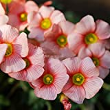 2 Pcs Rare Normal Oxalis obtusa Blush Oxalis Flowers Bulbs Color Rotary for Garden (Bulb is Small) for Home Garden