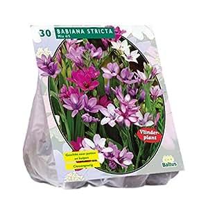 BALTUS Babiana Stricta Mix 30 bombillas de repuesto a partir de semillas de flores en otoño