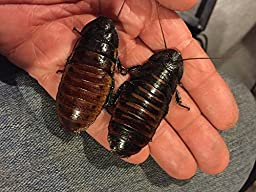 Total of Four (4) Adult Madagascar Hissing Cockroaches