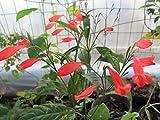 LovelyGarden Ruellia amoena or Red Christmas pride Ruellia graecizans Plant