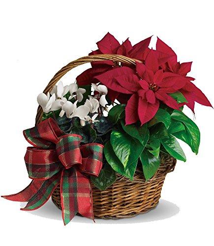 Plaza Flowers - Poinsettia Holiday Plant Basket – Standard