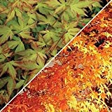 (3 gallon) Katsura, Japaneses maple- fantastic pale orange-yellow spring foliage which gradually fades to a medium green in early summer. Excellent tree for small gardens and large patio containers.