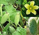 10 semi cocomero asinino Ecballium Elaterium Seeds spara semi Squirting Cucumber