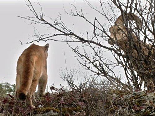 Mountain Lion vs. Bighorn