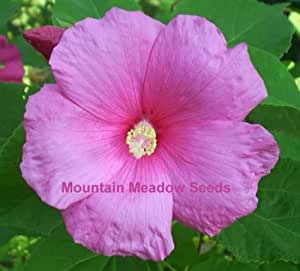 giant pink hibiscus 25 seeds flowering. Black Bedroom Furniture Sets. Home Design Ideas