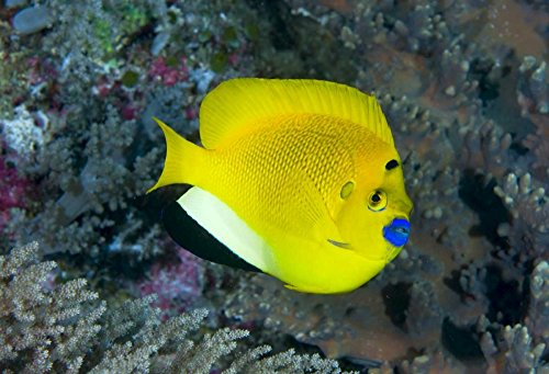 Indonesia Three spot angelfish swims amid coral by Jones Shimlock - 7