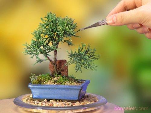 Rectangular Bonsai Tree - 7