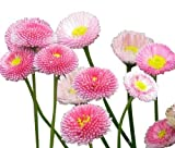 English Daisy, Lawns and Borders - 1000 Seeds - Bellis Perennis