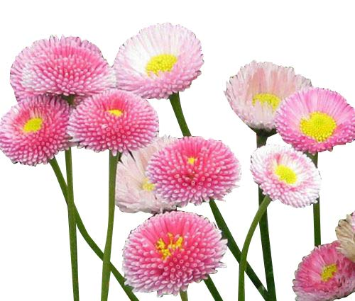 Pink English Daisy, Lawns and Borders - 1000 Seeds - Bellis Perennis