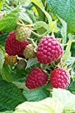 "RASPBERRY ~Red~ ""Heritage"" ~Produces two big crops a year~ 20+ Perennial Fruit Seeds"