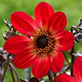 3 Bulbs Dahlia Single HS Flame