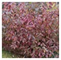 Red Twig Dogwood - Osier Cornus sericea Cardinal - Rooted One Trade Gallon Potted - 1 Plant by Growers Solution