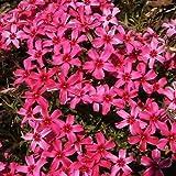 PHLOX SUBULATA 'SCARLET FLAME' - CREEPING PHLOX - STARTER PLANT