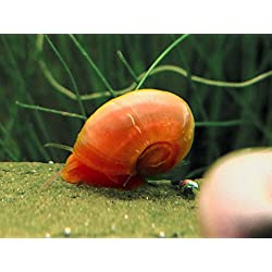 5 Bright Red Ramshorn Snails (1/4 to 1 inch diameter) - Algae-eaters and safe for fish, plants, and shrimp! by Aquatic Arts