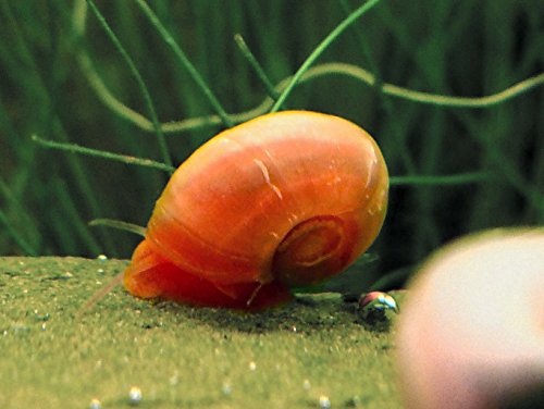 - 5 Bright Red Ramshorn Snails (1/4 to 1 inch diameter) - Algae-eaters and safe for fish, plants, and shrimp! by Aquatic Arts